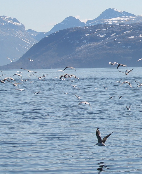 Gulls flying over the fjord - on one of our boat trips